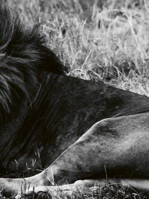 lions laurent baheux